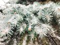 Frost on a branch of pine tree Royalty Free Stock Photo