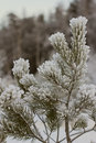 Frost on the branches of pine trees Stock Images