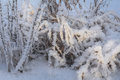 The frost on the branches