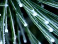 Frost Covered Pine Needles Macro Stock Photos