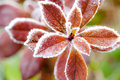 Frost covered red leaves Royalty Free Stock Photo