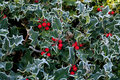Frost on Holly Hedge Stock Photography