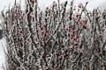 Frost Lies On The Branches Of The Shrub. Red Berries Covered In Ice