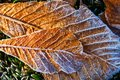 Frost melting on fallen leaves Royalty Free Stock Photography