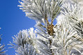 Frost on the needles white spruce and cones Stock Photo