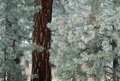 Frost on pine needles Royalty Free Stock Photo
