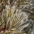 Frost on pine needles winter macro of Stock Photo