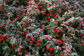 Frost on pyracantha Stock Photography