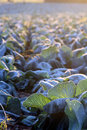 Frost on savoy cabbage field at early december morning focus first Royalty Free Stock Images