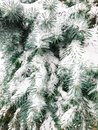 Frost and snow on a branch of pine tree Royalty Free Stock Photo