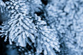 Frost on the spruce branches Royalty Free Stock Image