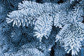 Frost on the spruce branches Stock Photos