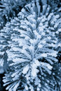 Frost on the spruce branches Royalty Free Stock Photo