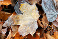 Frosted autumn leaves Royalty Free Stock Photography