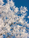 Frosted branches Royalty Free Stock Images
