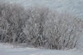 Frosted bushes in snow with hoarfrost on a winter day with wind sculpted Stock Images