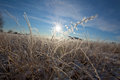 Frosted grass in the winter Stock Image