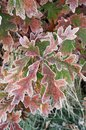 Frosted oak leaves Royalty Free Stock Photos