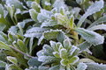 Frosted plant in a garden Royalty Free Stock Photo