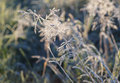 Frosted plant in the morning. Royalty Free Stock Photo