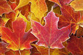 Frosted red maple leaves close up of and yellow autumn Royalty Free Stock Image