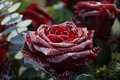 Frosted red rose Royalty Free Stock Image