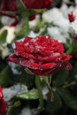 Frosted red rose single covered with ice crystals Royalty Free Stock Photos
