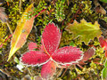 Frosted strawberry leaves yoho national park canada british columbia Stock Image