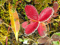 Frosted strawberry leaves yoho national park canada british columbia Royalty Free Stock Photography