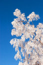 Frosted tree against blue sky in a cold winter morning Stock Photos