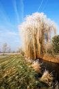 Frosted weeping willow Stock Image