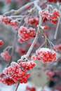 Frosty Ash berries Royalty Free Stock Images