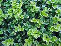 Frosty boxwood Royalty Free Stock Images