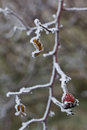 Frosty hips of a briar rosa canina on prong shallow dof Stock Image