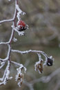Frosty hips of a briar rosa canina on prong shallow dof Royalty Free Stock Photography