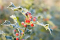 Frosty holly leaves Royalty Free Stock Photo