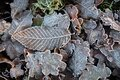 Frosty leaves ice cold winter autumn Royalty Free Stock Photo