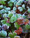 Frosty leaves Royalty Free Stock Photography