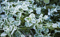 Frosty Leaves Stock Images
