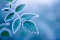 Frosty leaves on the blue background - abstract