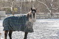 Frosty morning a blanketed horse munches on hay and shows his breath near ballston spa new york Royalty Free Stock Image