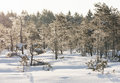Frosty pine trees in marsh early in the morning at winter Stock Photography