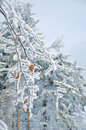 Frosty  snow-covered Leaves Royalty Free Stock Photo