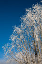 Frosty tree Royalty Free Stock Images