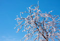 Frosty tree and blue sky Royalty Free Stock Images