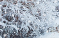 Frosty winter landscape in snowy forest. Pine branches covered with snow in cold weather. Christmas background with fir trees