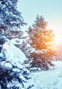 Frosty winter landscape in snowy forest. Pine branches covered with snow in cold winter weather. Royalty Free Stock Photo