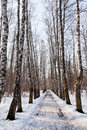 Frozen alley in birch forest sunny morning Stock Images