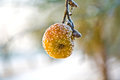 Frozen apple in wintertime hanging at the tree Stock Photo