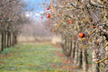Frozen apples in an apple orchard on early sunny december morinig Royalty Free Stock Photo